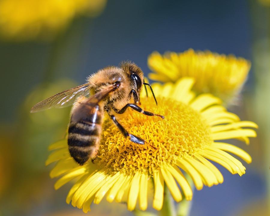 abeille flower butine europe